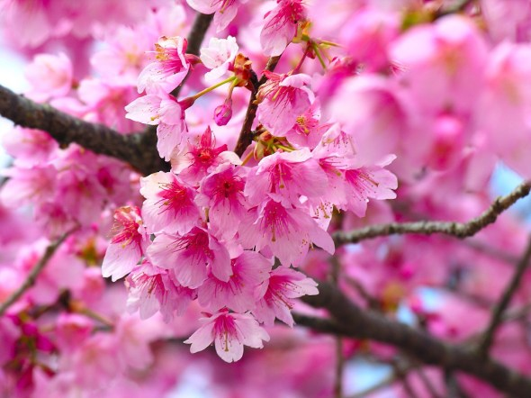 cherry-blossom-www_dcafterfive_com_